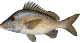 Grunt is a type of fish to catch on our offshore (deep sea) fishing charter trips.